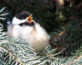 Black Capped Chickadee Bird Print, Chickadee Print, Fluffy Bird, Baby Bird, Junior Bird, For the Bird Lover, Cute Baby Bird