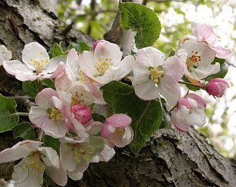 "Wild Apple Blossoms 8"" X 10"" Floral Print, Pink and White Blossoms, Fine Art Photography"