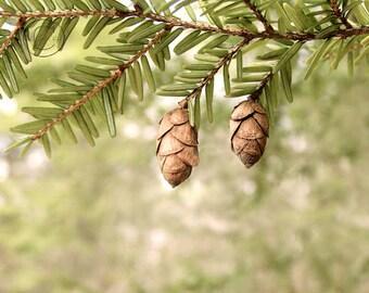 "Hemlock Cones, Evergreen Fine Art Photography 8"" X 10"" Nature Tree Print"