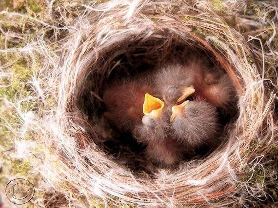 "Bird Photography, Baby Birds in Nest, Phoebe Babies, Bird Print 9"" X 12"" Fine Art Photography"
