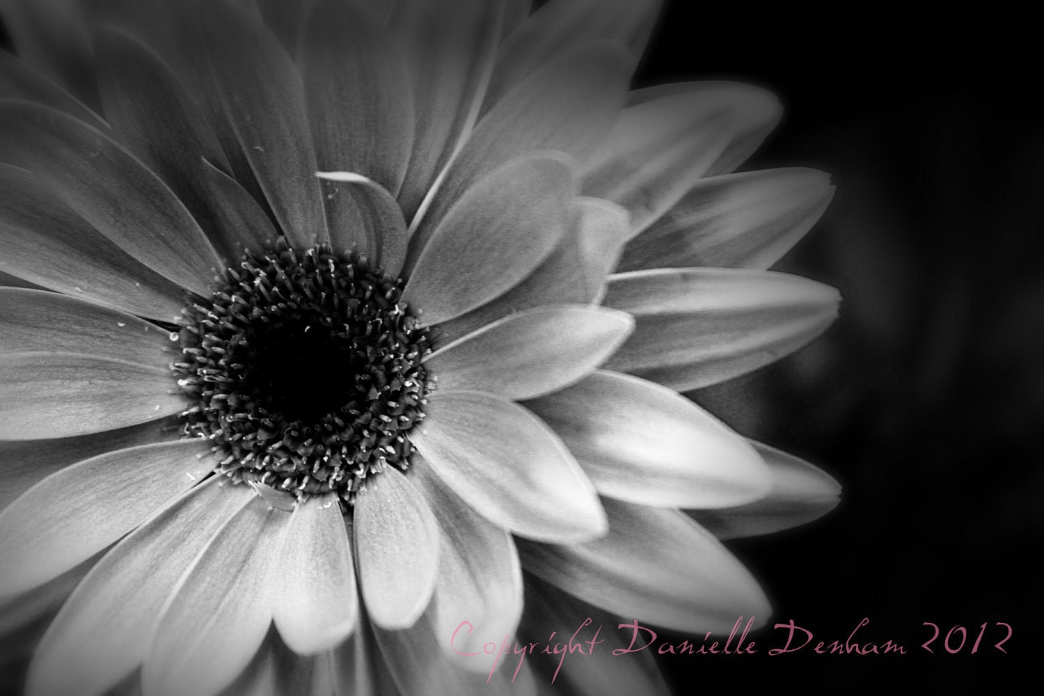 Nature Photography Flower Daisy Gerbera InfraredFine Art