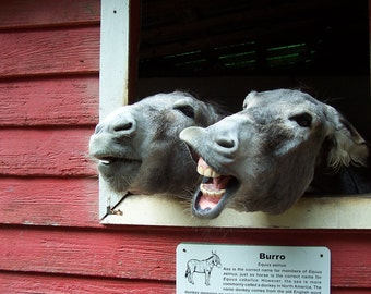 Dos Burros 8x10, funny art, teeth, donkeys, humorous art, print, gift, farmer, playful animals, outside, barn, yellow river game ranch