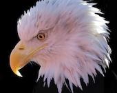 Bald Eagle natural color portrait