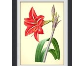 Botanical Print 30, a vibrant vintage red botanical illustration produced from a book plate.