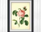 Digital Floral print No 62, Pink Rose, produced from a vintage book plate, 8x11 wall art.