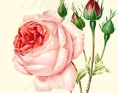 Botanical Illustration, Rose print 153,  produced from a vintage illustration upcycled from a bookplate.