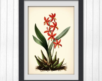 Red Botanical print 79, botanical art print produced from a vintage book plate.