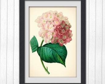 Hydrangea Print 112, vintage botanical illustration upcycled art print.