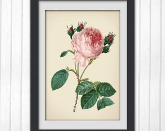 Redoute print Digital pink rose art print 122,  produced from a vintage illustration upcycled from a bookplate.
