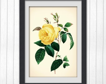 YELLOW ROSE print, floral art work, Redoute print, yellow rose art, Instant Download No 123