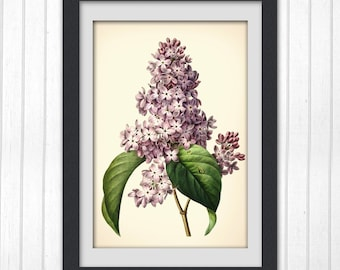 Redoute Botanical illustration, Lilac flower print 159,  produced from a vintage illustration upcycled from a bookplate.