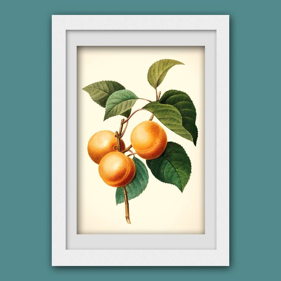 Fruit art. Digital Botanical Print . Vintage botanical illustration upcycled into modern wall print #119 INSTANT DOWNLOAD