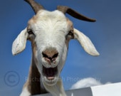 The Laughing Goat Photograph Art Print 8 x 10
