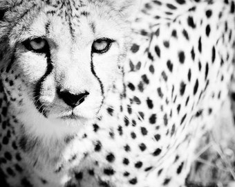 Wildlife Photography - Cheetah Wall Art - Black and White Monochrome Fine Art Photography - Animal Photo