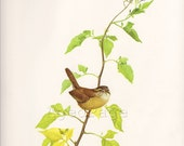 Vintage Bird Print, Ornithology Book Plate Illustration, Carolina Wren