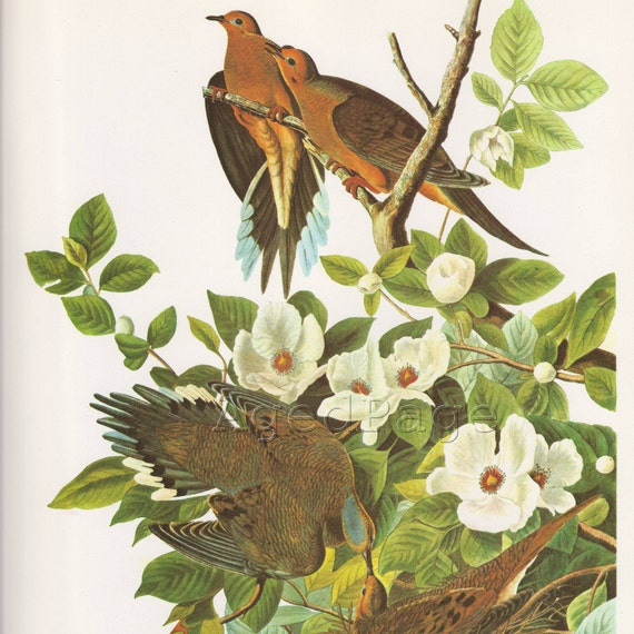 Vintage Bird Print, Audubon Book Illustration, Mourning Dove, Vertical