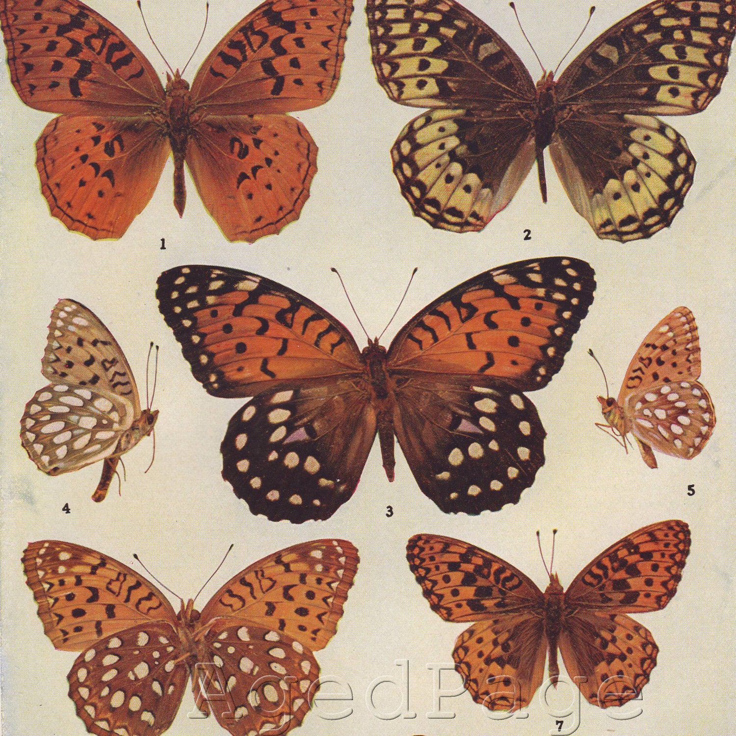 Vintage Insect Print1942 Butterfly Chart Print to by AgedPage  Vintage Butterfly Chart