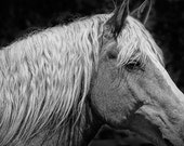 Portrait of a Horse in Edmonton Alberta, A Black and White Photograph