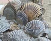 Nantucket Scallop Seashells for Beach Decor, Beach Weddings, Crafts and Nautical -35pc