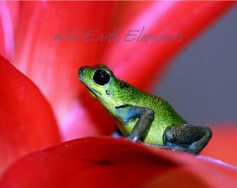 Green Poison Frog - Wildlife Photo, nature photography, poison-dart frog, Panama
