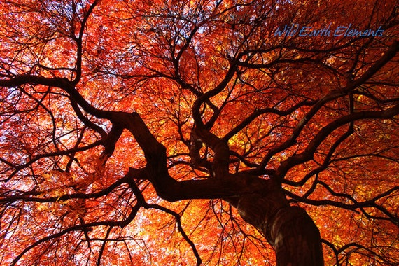 Ephemeral - Color Nature Photography, red orange yellow autumn fall leaves maple tree