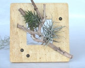 Airplants in Wood Frame, Air plants ,Tillandsia