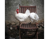 Leghorns on a Chair - 8x12 Fine Art Giclee Print