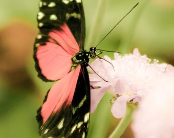 Bright Pink Butterfly - 8x10 photograph - fine art print - nature - nursery art - tropical butterfly