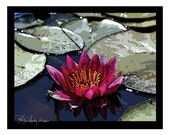 Sale - 10 Red Water Lily  Blank Note Cards
