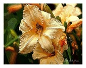 Sale - 10 Peach Daylily  Blank Note Cards