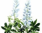Blue Lupine Watercolor Garden