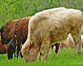 Animal Brown and White Buffalo Bison 12x18 Limited Edition Print