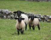 Eamon's Sheep - Ireland, 8x10 Photograph