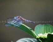 Dragonfly Photography, Insect Photography, All Occasion, Blank Greeting Card, Photo Card