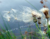 Seeds Windblown Thistle Fine Art Photography signed matted 8x10 print