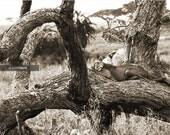 "Sleeping Lion in the Serengeti Photograph, Tanzania, Kenya, East Africa - 8x10"" Fine Art Photo Print"