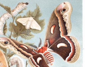 Silkworm print silk moth print insect cycle of life butterfly print natural history : Antique 1890s chromolithograph original old book plate
