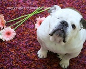 Special Needs English Bulldog Photo - Featured in American Dog Magazine - Piper The Painting Bulldog - Dog Celebrity Photo - Pet Photography