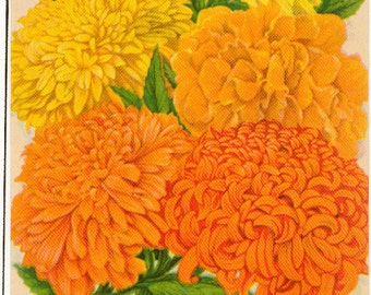 MARIGOLD (GIANT Mixed) Vintage Tucker's Flower Seed Packet Lithograph from Carthage Missour