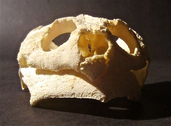 Wonderful Grinning Old Snapping Turtle Skull