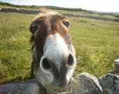 "Ireland Nature Photograph of a cute donkey  20"" x 16"""