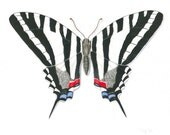 """Butterfly Painting, Original Butterfly Art, Zebra Swallowtail Butterfly, Nature Painting, Black and White Art, Gouache, 8"""" X 10"""""""