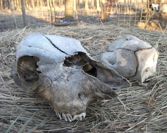 Baby Calf Real Cow Skull & Extra Skullcap
