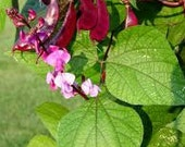 Hyacinth Bean Seeds Organically Grown