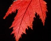 Fall Leaf - Red Leaf photograph - Thanksgiving - Gender Neutral - Crimson