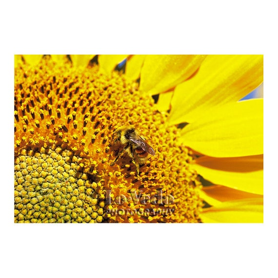 Sunflower Photo, Honey Bee, Golden Yellow Flower, Floral Photography, Bright Yellow, Home Decor, Cottage Chic