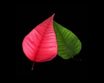 Flower Photography, Poinsettia Leaves, Fine Art Photograph, Garden Decor, Pink, Green, Botanical Art, Flower Art, Still Life, Black Wall Art