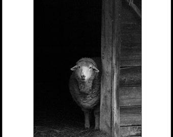 Pensive Sheep 8x10 Print