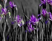 Wild Purple Iris 3 Panel Split on Canvas
