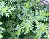 Sweet Annie Seeds - Artemisia annua - medicinal herb